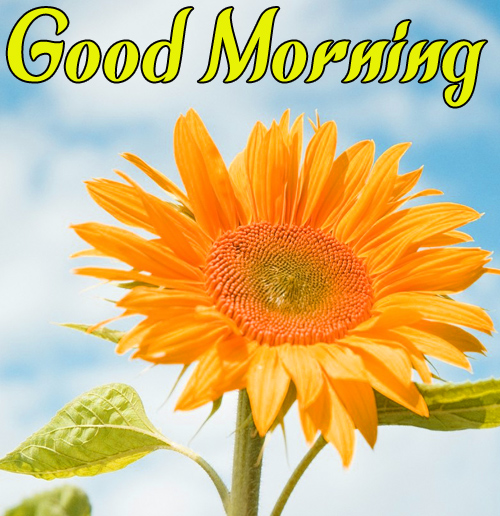 Sunflower Good Morning Hd Images Pics