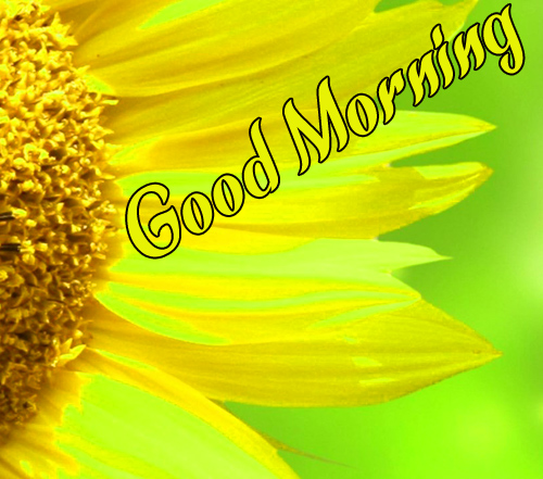 Sunflower Good Morning Pictures