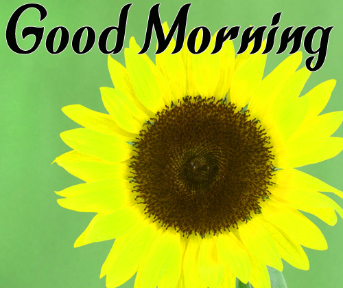 CuteSunflower Good Morning Images