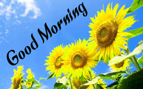 Sunflower Good Morning Hd Images