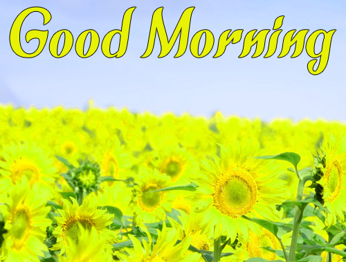 Sunflower Good Morning Hd Pictures